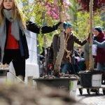Die Wanderbaumallee kommt in die Schwanthalerstraße