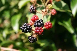 blackberry-200535_1920