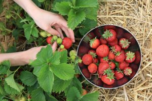 Erdbeerfelder_muenchen