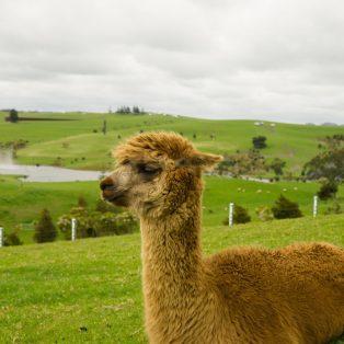 Lama, Esel oder Kamel – Wandern mit Tieren